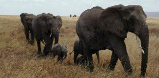 Elephants without tusks